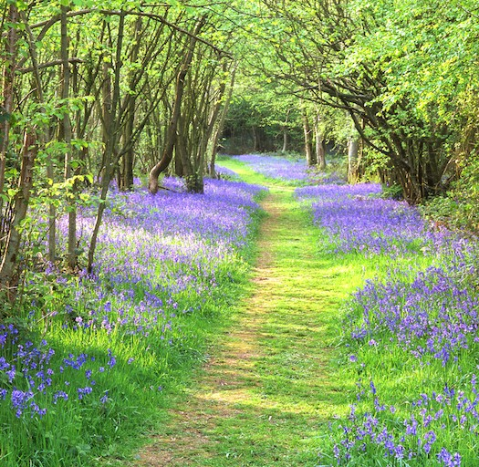 Bluebells in North Norfolk